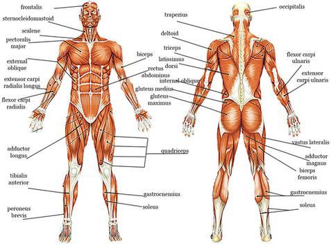 Estos son tus músculos. Comprenda los grandes grupos, luego trabaje con ellos regularmente.