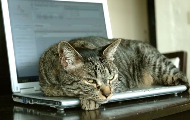 Trabajando remotamente gato sentado en el teclado del portátil