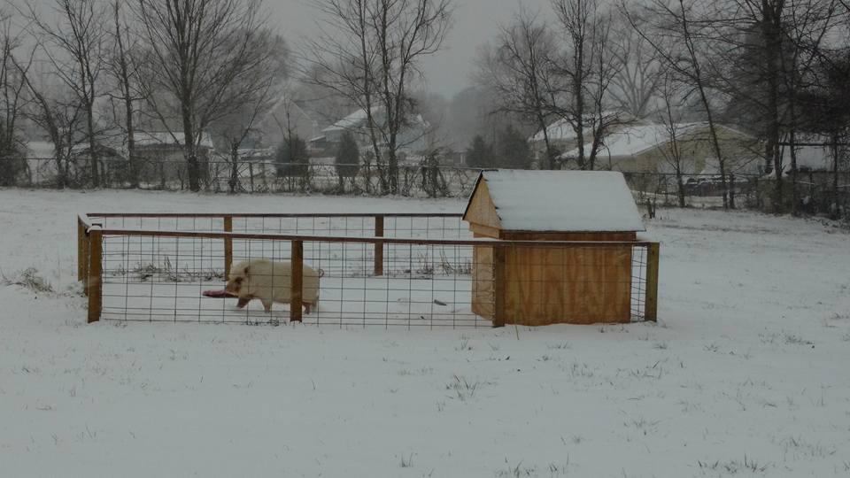 Cerdo barrigón Lilly disfrutando de la nieve afuera en Tennessee